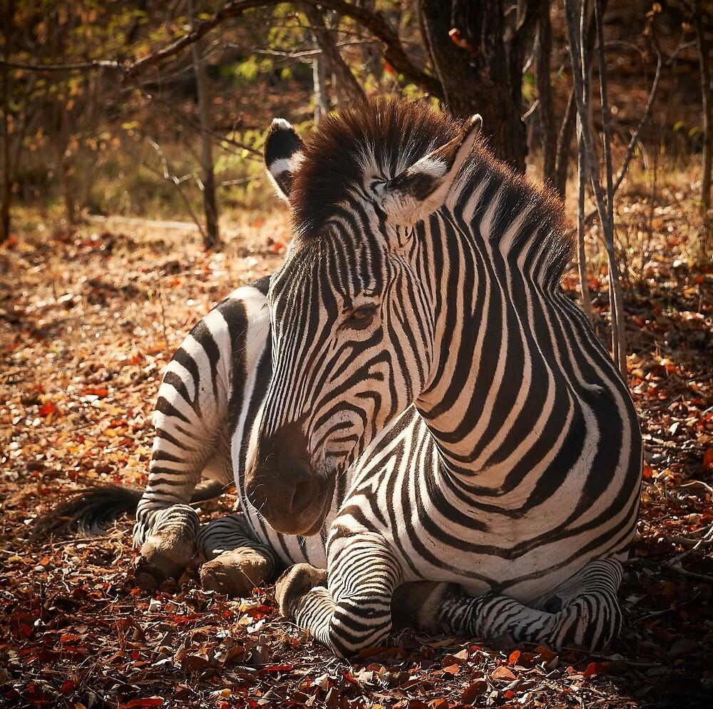 Zebra in Zambia by markhgphoto