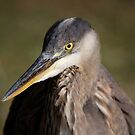 Great Blue Heron by Gale Ulsamer