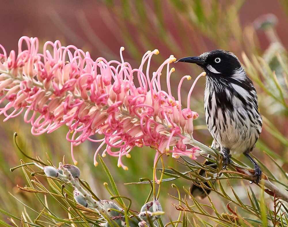 New Holland Honey Eater by markhgphoto