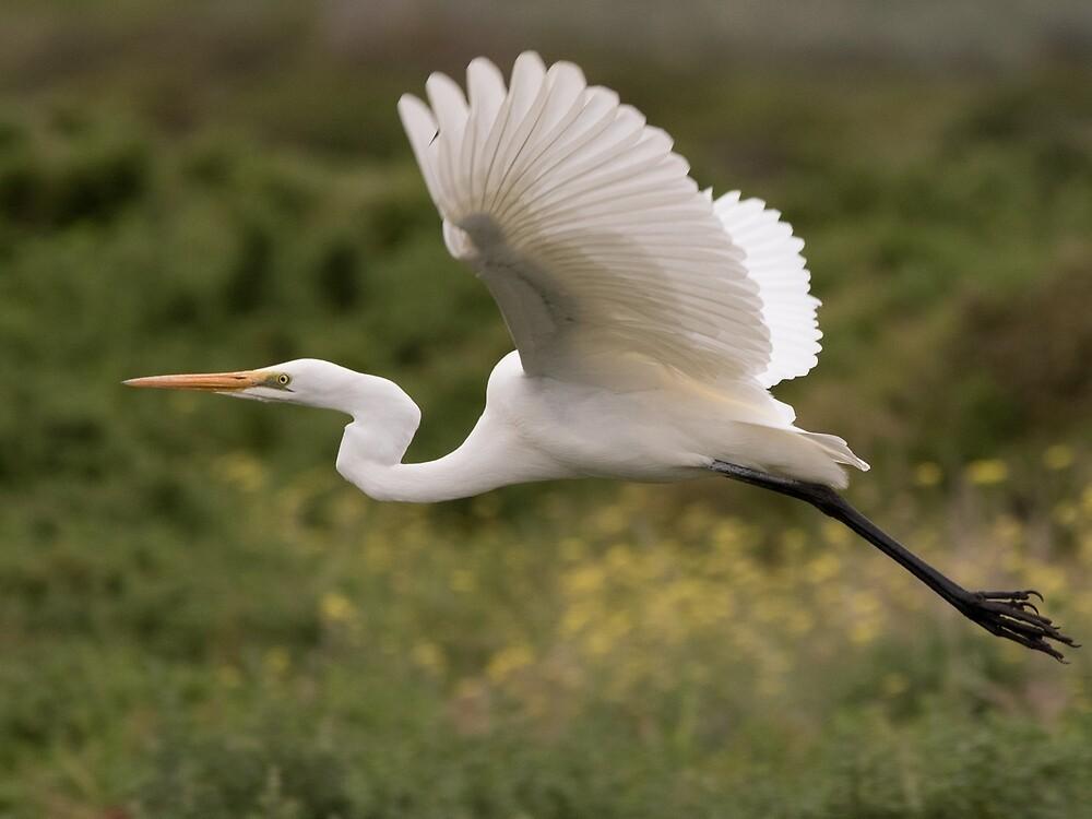 Great Egret Takes Flight by markhgphoto