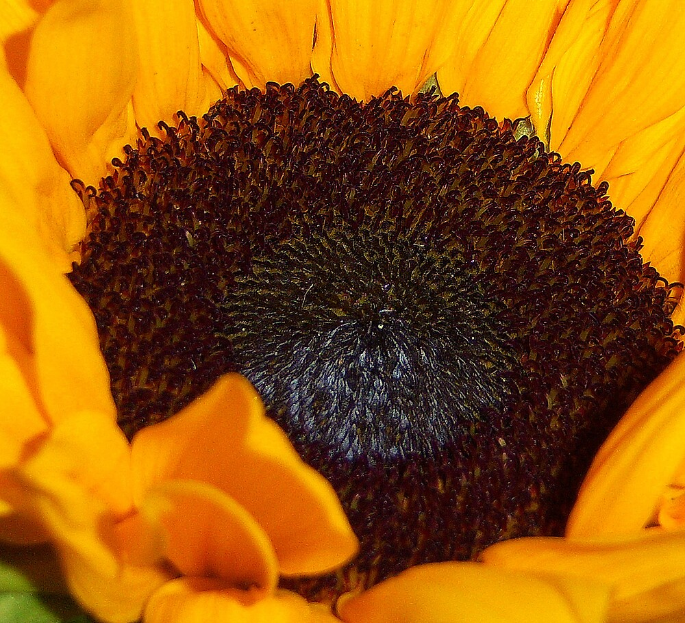 The Heart of a Sunflower by DottieDees