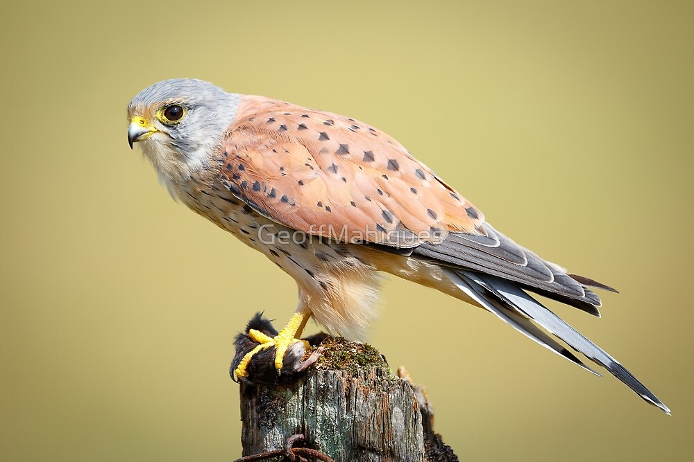 Male Kestrel With Lunch by GeoffMahiques