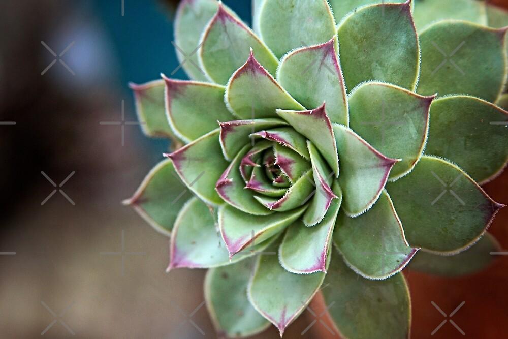 Succulent by bwatkinsphoto