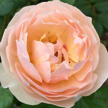 Apricot David Austin Rose by BindysBags