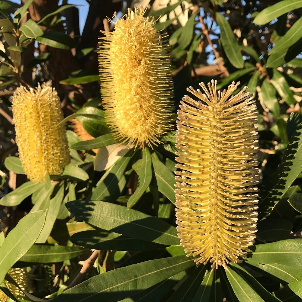 Australian Banksia by Katecdart