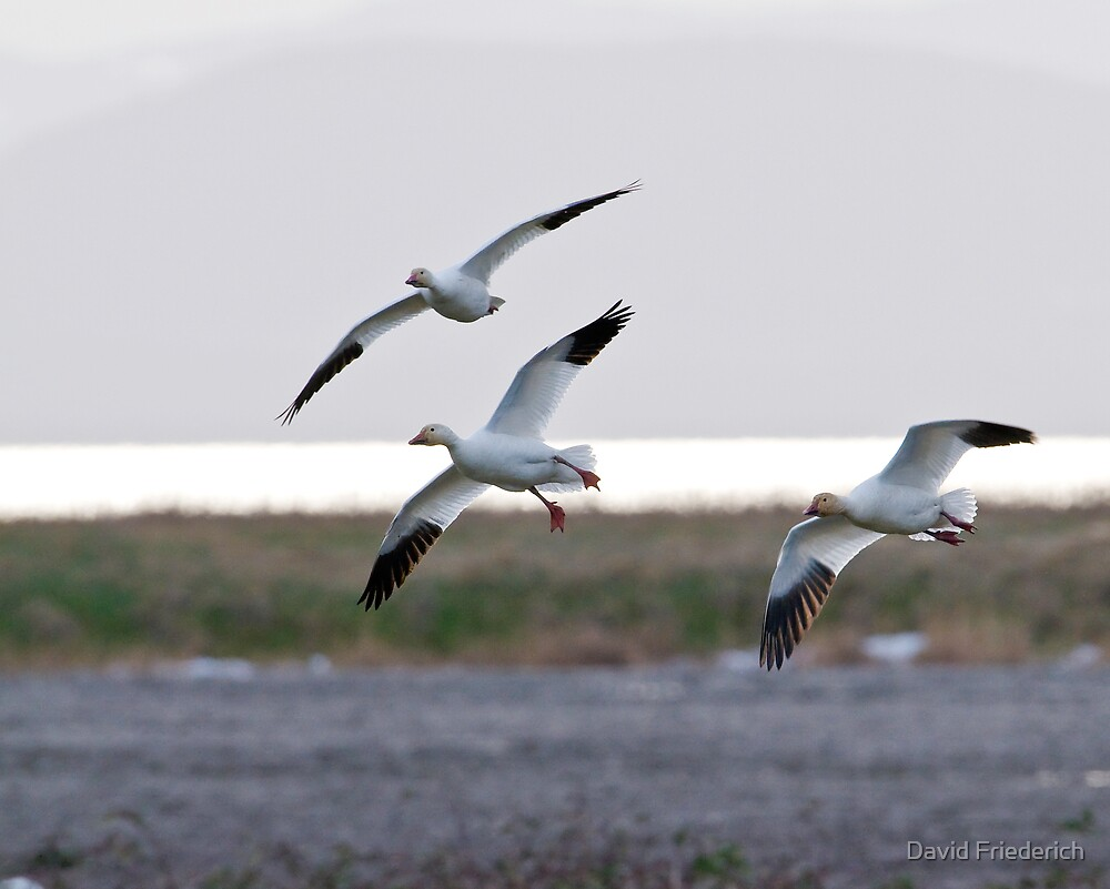 Pacific Flyway Snow Geese by David Friederich