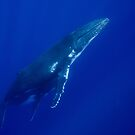 Humpback Whales, Vava'u, Tonga by Erik Schlogl