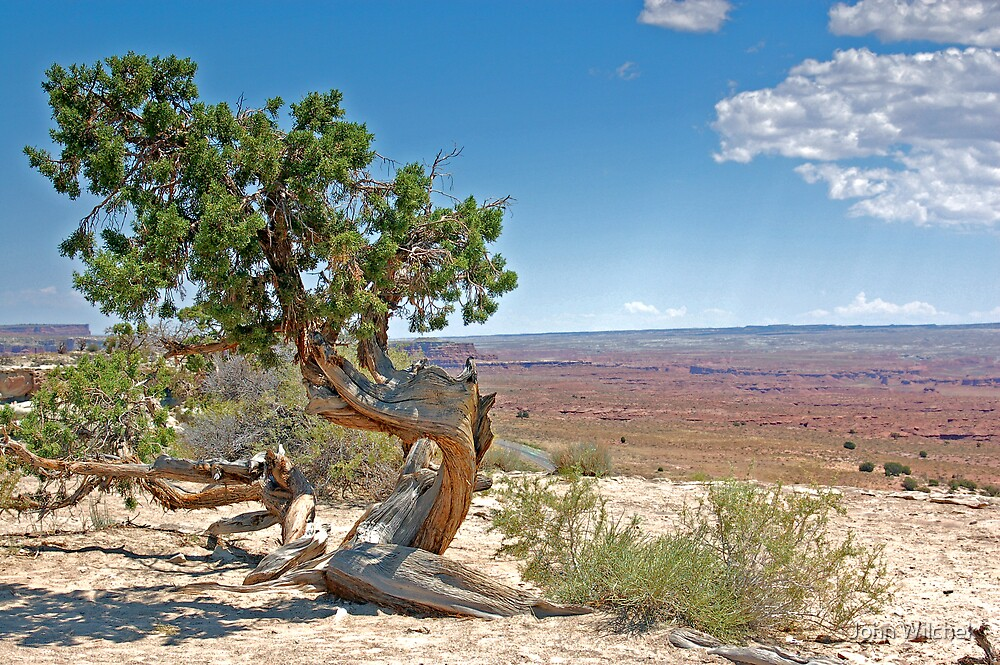 Juniper tree by John Wilchek