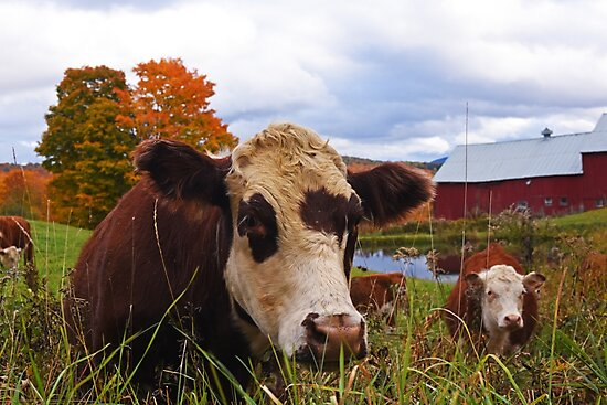 Cow chilling out at Jenne Farm Reading VT Vermont by WayneOxfordPh
