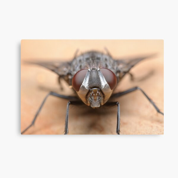 Tachinid Fly Canvas Print