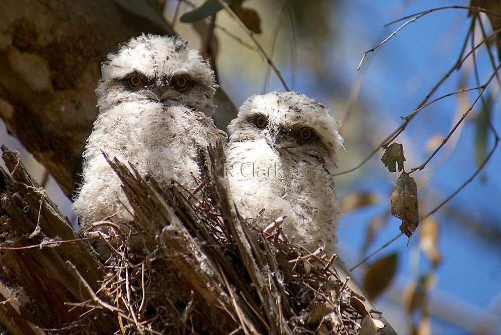 Young Tawnies by R Clark