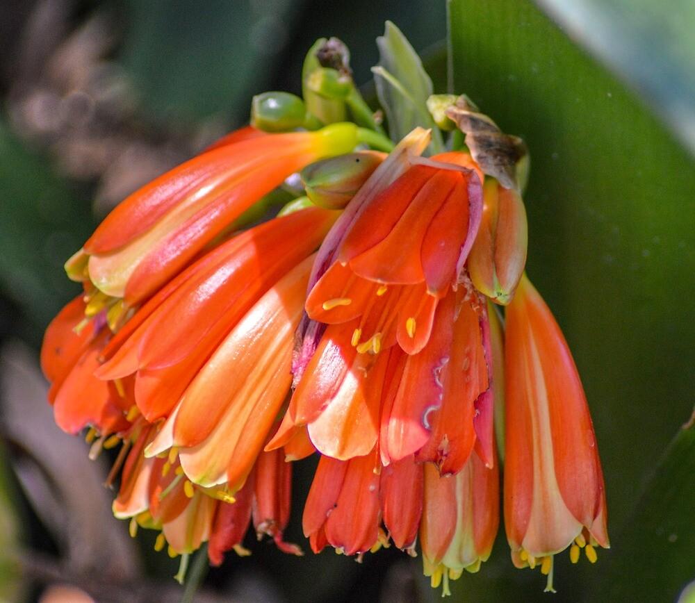Pendulous orange funnel shaped flowers by Indigo73