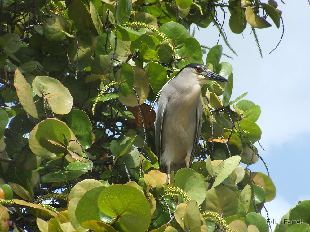 Black Crowned Night Heron by Edith Farrell