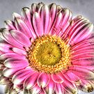 Pink and white gerbera HDR by David Rankin