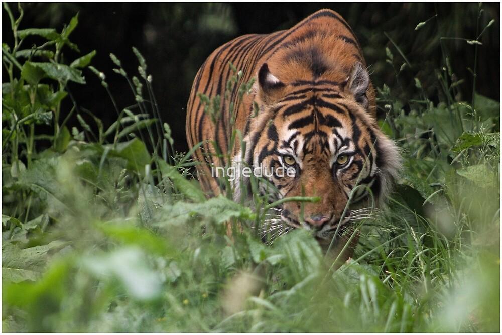 Tiger Stalking Through The Grass  by ingledude