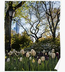 Springtime Tulips in Central Park New York City Poster