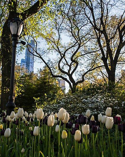 Springtime Tulips in Central Park New York City by WayneOxfordPh