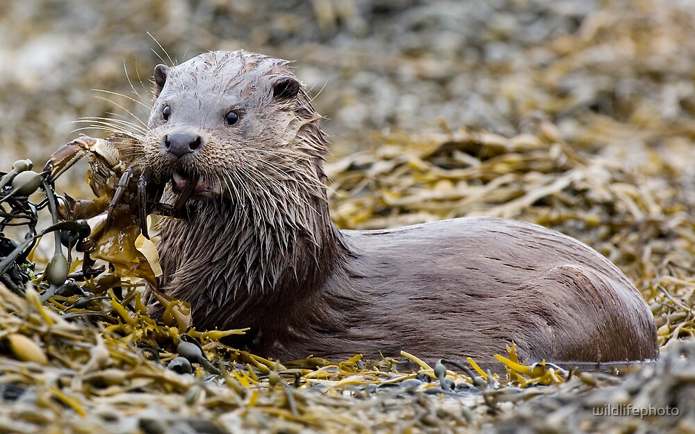 Wild Otter with crab by wildlifephoto
