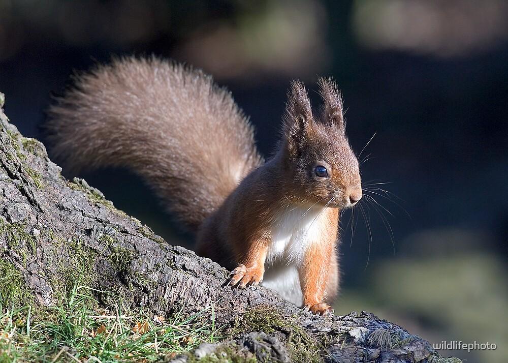 Red Squirrel by wildlifephoto