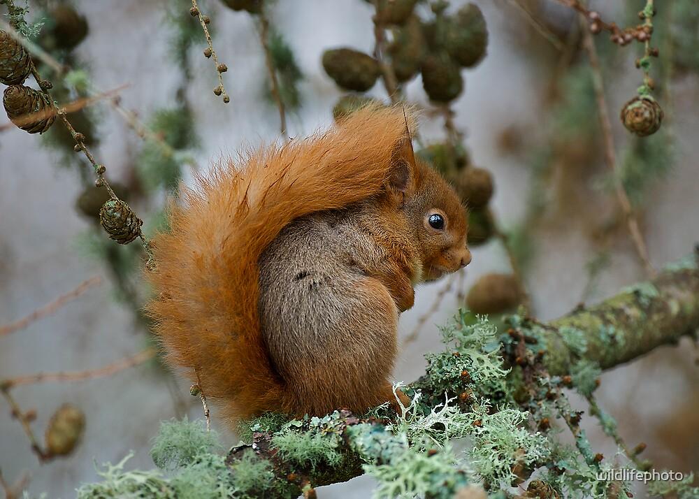 Red Squirrel in winter by wildlifephoto