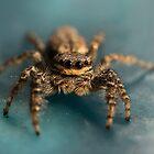 Small jumping spider by JBlaminsky