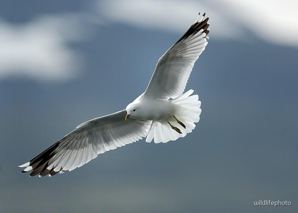 Common Gull in flight by wildlifephoto