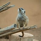 Snout of Meerkat by Rob Hawkins