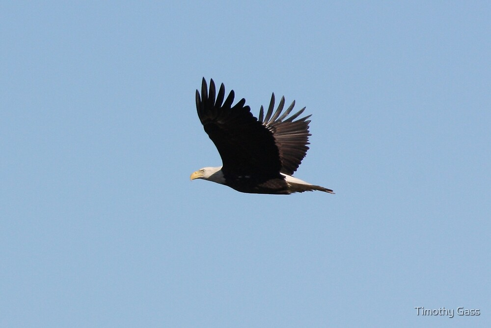 Bald Eagle in Flight by Timothy Gass