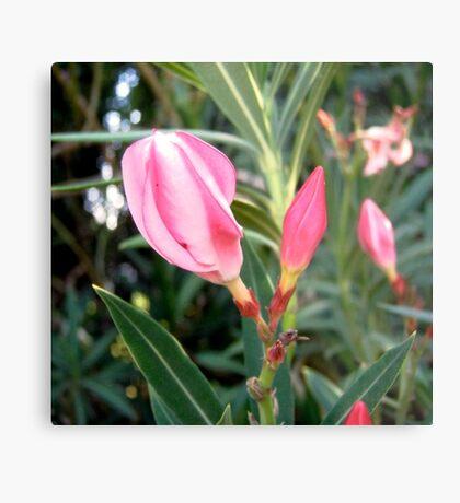 Oleander buds Metal Print