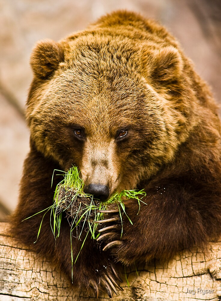 STOCK-Grizzly by Jay Ryser