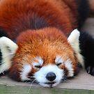 Red Panda by Gale Ulsamer