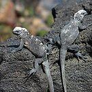 Baby Iguanas by Sue  Cullumber