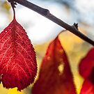 Red Autumn Lead Trio by Candice O'Neill