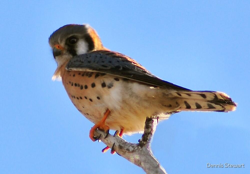 American Kestrel Falcon by Dennis Stewart