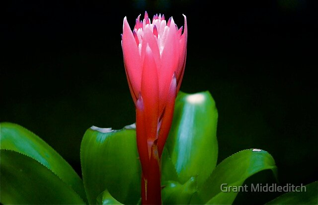 Red Flower  by Grant Middleditch