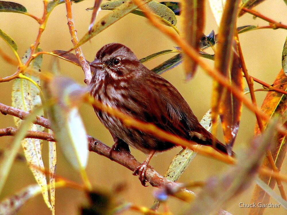 Song Sparrow by Chuck Gardner