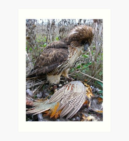 Red Tail Hawk and Pheasant  Art Print