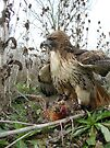 Red Tailed Hawk on a Pheasant by Robert Diebold