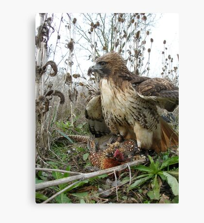 Red Tailed Hawk on a Pheasant Canvas Print