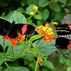 Trio of Postman Butterflies by AnnDixon