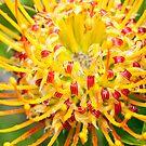 Yellow Leucospermum by SusanAdey