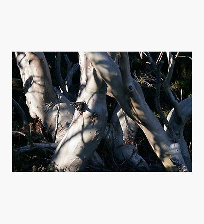 Snowgum Trunks Photographic Print