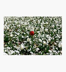 Lonely Red Tulip Photographic Print
