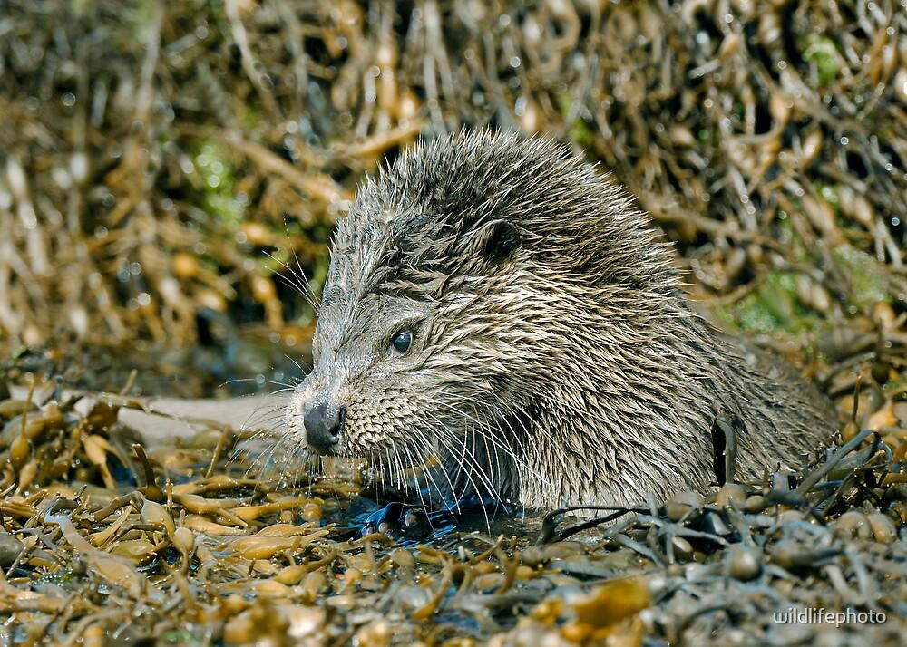 Wild Otter grooming by wildlifephoto