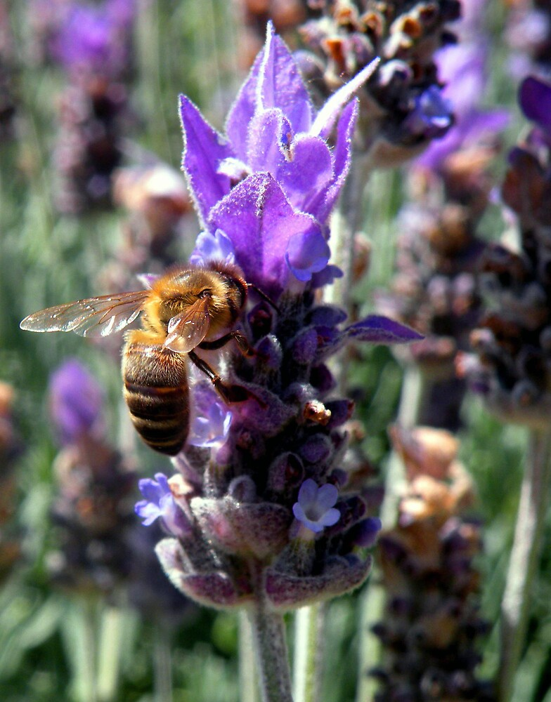 Lavender Buzz by AnnetteW