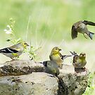 American Goldfinch Running Late! by Penny Odom