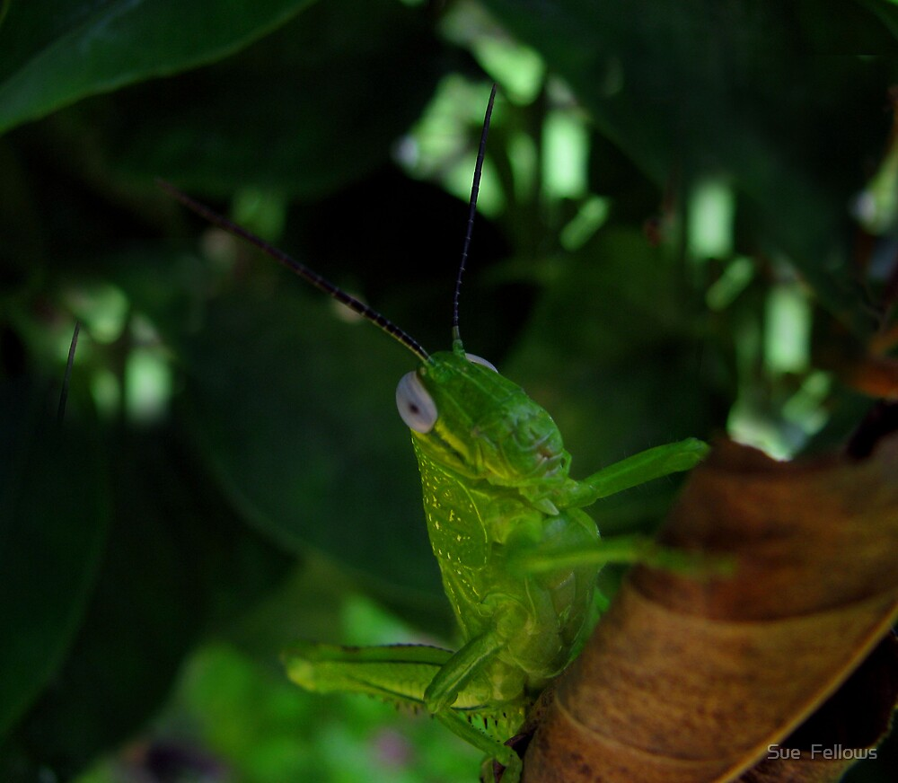 """Introducing....""""Jiminy Cricket"""" by Sue  Fellows"""