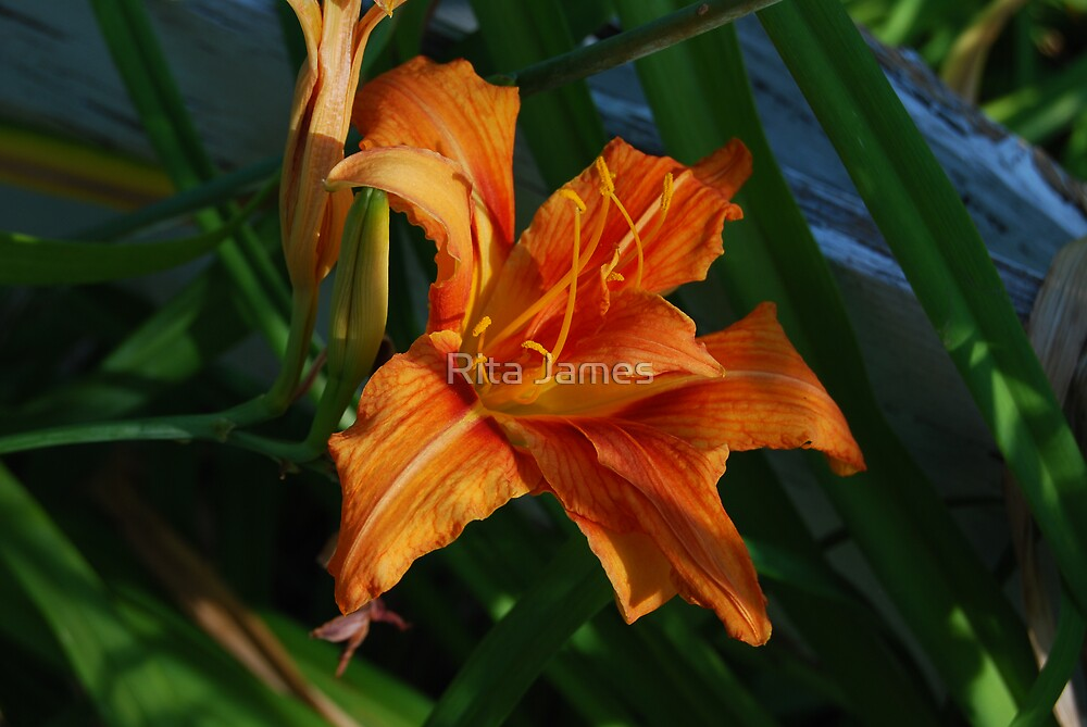 Country Lily by Rita James