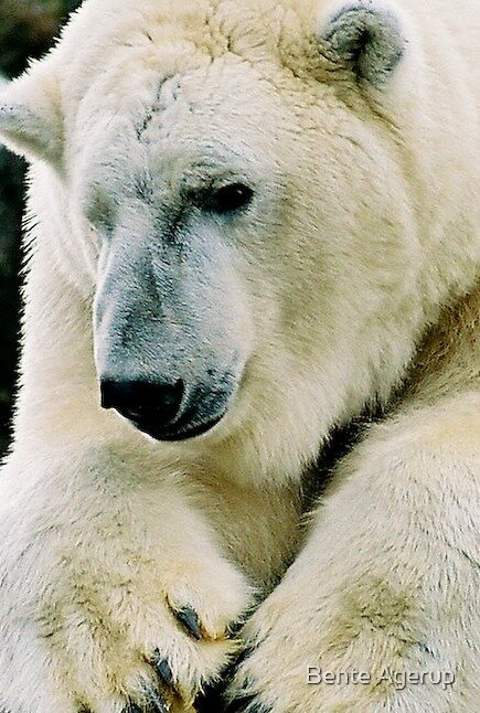 Polar bear by Bente Agerup