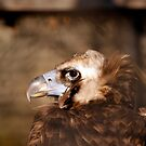Cinereous/Eurasian Black Vulture by BigD
